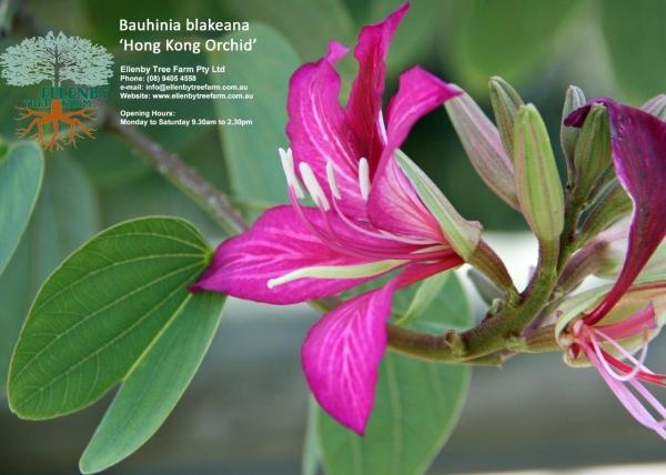 Bauhinia Blakeana Hong Kong Orchid