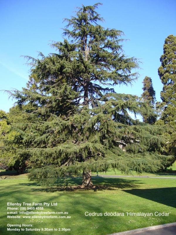 Deodar Cedar Tree Varieties ~ Cedrus deodara himalayan cedar ellenby tree farm