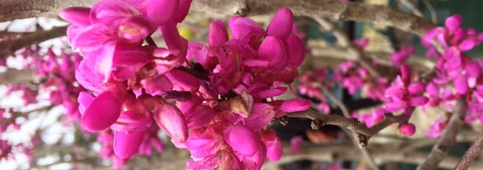 Hibiscus Tiliaceus Rubra Red Cottonwood Ellenby Tree Farm