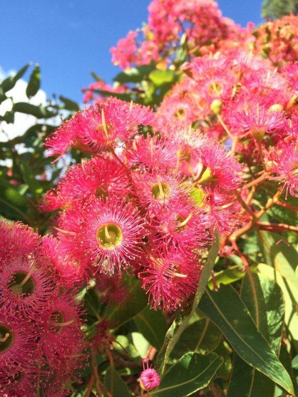 Corymbia ficifolia grafted coral pink flowering gum ellenby tree corymbia calophylla grafted pink marri mightylinksfo
