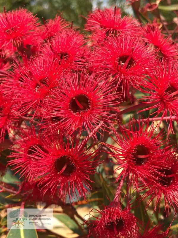 Corymbia ficifolia grafted coral pink flowering gum ellenby tree corymbia ficifolia grafted christmas tree red flowering gum mightylinksfo