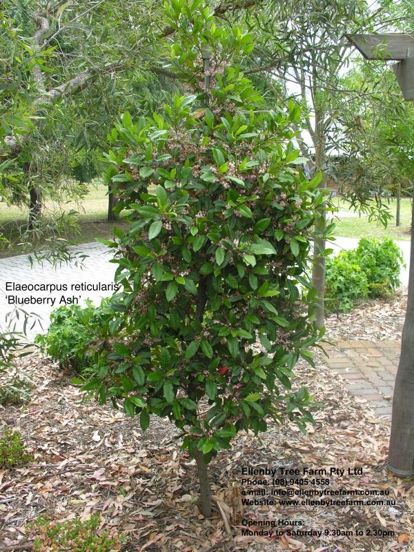 Japanese Blueberry Bush