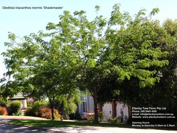 Gleditsia Triacanthos Inermis Shademaster Ellenby Tree