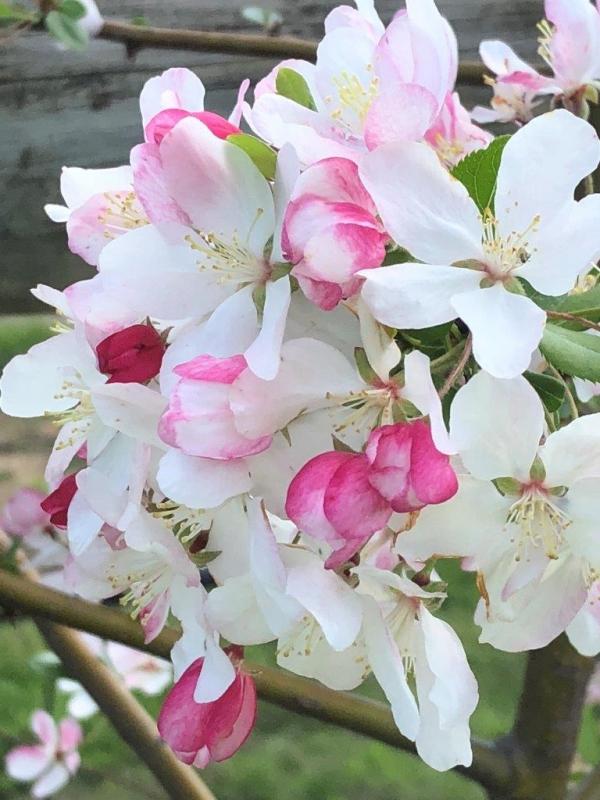 Malus Spectabilis Chinese Flowering Crabapple Ellenby Tree Farm