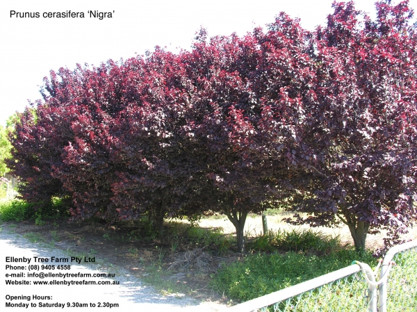 prunus cerasifera 39 nigra 39 ellenby tree farm. Black Bedroom Furniture Sets. Home Design Ideas
