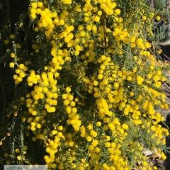 Acacia Cognata Fettuccini Ellenby Tree Farm