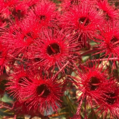 Corymbia ficifolia grafted 'Christmas Tree Red Flowering Gum'