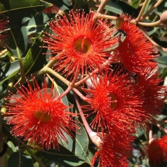 Corymbia ficifolia grafted coral pink flowering gum ellenby tree corymbia ficifolia grafted neon lights flowering gum mightylinksfo