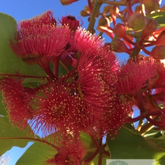 Corymbia ptychocarpa 'Pink-flowering Bloodwood'
