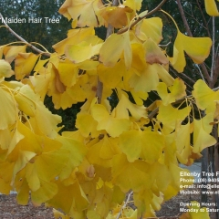 Gingko biloba 'Maiden Hair Tree'